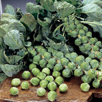 Vegetable - Brussels Sprout - Maximus - 15 Seeds