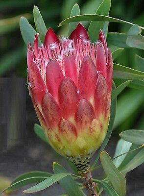 Protea repens / Sugarbush / Fynbos Shrub / 8 Seeds