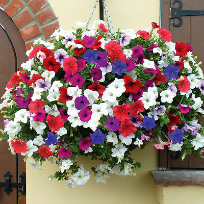 3  Trailing Petunia Surfinia  Mixed Large Garden Ready  Plants in 9cm Pots