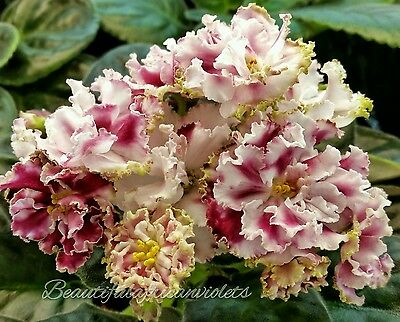Stassia~Plant~African Violet~Russian Variety