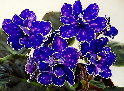 Zvezdy Kryma~Plant~African Violet~Russian Variety