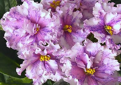RS-Maestro~Plant~African Violet~Ukrainian/Russian Variety