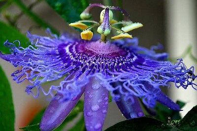 Passiflora Incense