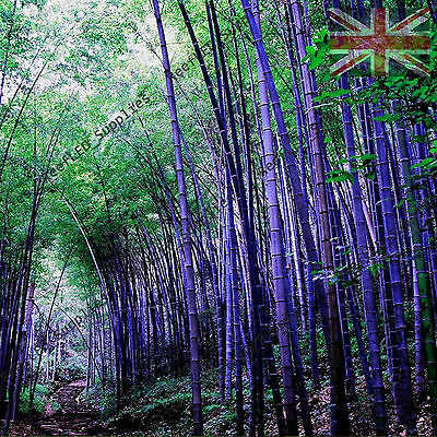 RARE Purple Bamboo, Timor Bambusa Lako - Viable Seeds - UK SELLER