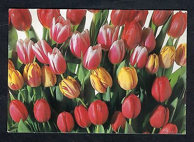 Posted 1995 from Holland, Red & Yellow Tulips