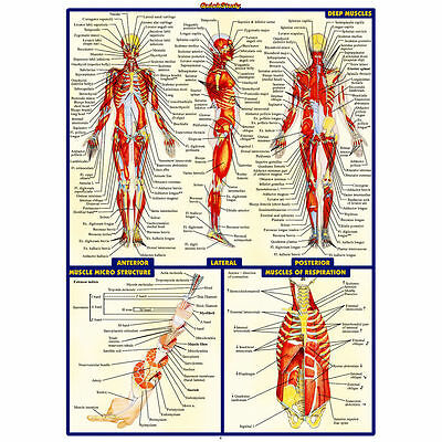 12117 Human Anatomy System Muscles Map Poster Medical Science AU