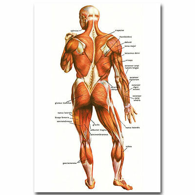 11916 Human Anatomy Muscular System Poster Medical Education