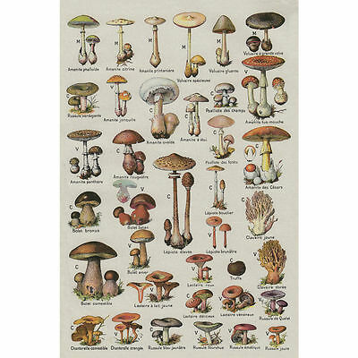 13781 Mushroom Chart Educational Art Poster Wall AU