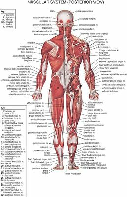 14980 Human Body Anatomical Chart Muscular System Wall Print POSTER AU