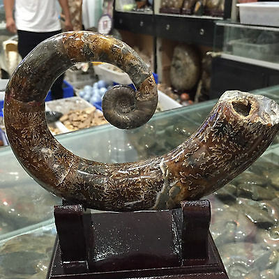 "620g Rare! NEW LISTING !! Natural ""elephant trunk-conch"" fossil Madagascar 2011"