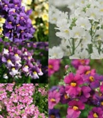 6 Scented Trailing  Nemesia Mixed Collection  Basket  Patio Plug Plants