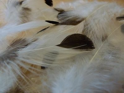 Feathers White With Black Dots X20 6-12Cm (608)