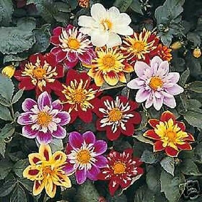 30+ Collarette Dandy Dahlia Flower Seed Mix    Annual