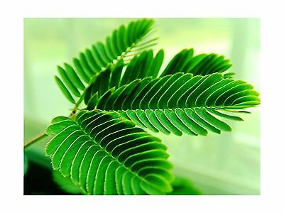 100 Seeds Sensitive Plant (Mimosa Pudica) Seeds by Seed Needs