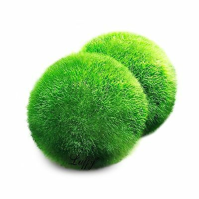 Luffy Giant Marimo Moss Ball (Approx 2 inch) X 1 + one small marimo Free!(shi...