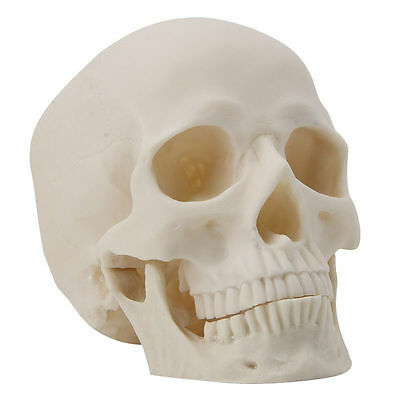 Human Skull Replica Resin Art Teaching Model Medical Realistic Adult Size 1:1