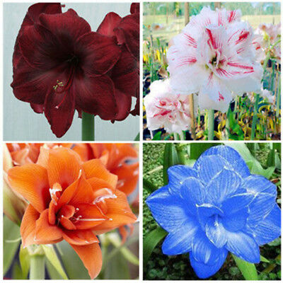 100Pcs Amaryllis Seeds Hippeastrum Flower Home Balcony Garden Plants Honest