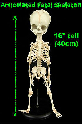 Life Size Realistic Baby Bucky HUMAN FETAL SKELETON Horror Prop Replica on Stand