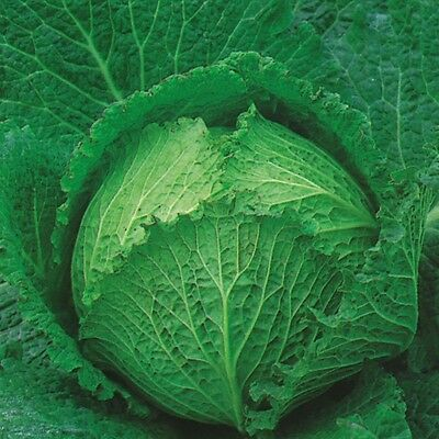 Vegetable - Cabbage - Tundra - 125 Seeds