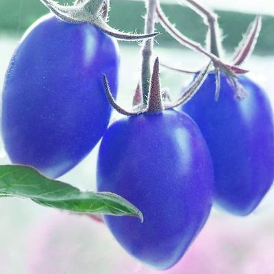 100 pcs Blue Purple Tomato Seeds Organic Indigo Fantastic Edible Vegetable