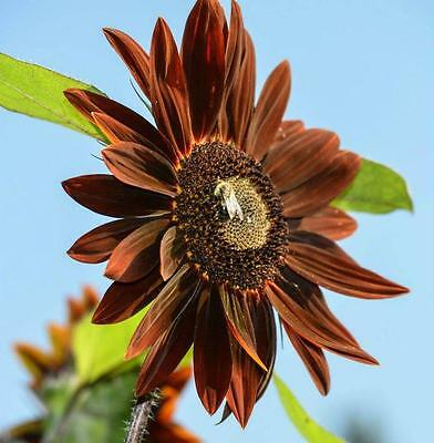 Flower Sunflower Chocolat  - 700 Seeds -Bulk