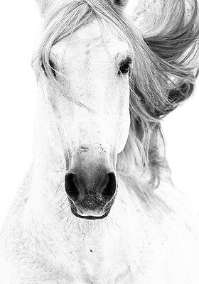 Beautiful Natural Wild Horse White Grey Equestrian Quality Canvas Print