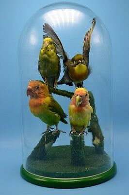 taxidermy of birds 4 in 1 mounted in glass dome free P&P special gift 4#