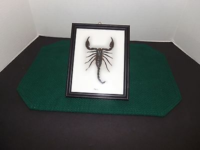 Real  Scorpion Insect Bug Taxidermy Framed