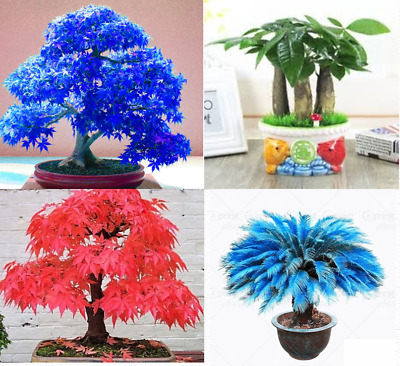 Differents Japanese Plants and Bonsais Seeds, Blue Fly Trap,blue Maple,Red Maple