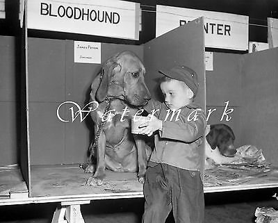 "1951 Bloodhound Dog Show Photo NEGATIVE 4""×5"" 1950s Kid IOWA Kennel Club Canine"