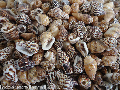 100 x Small Natural Spiral Sea Shell Beads Craft Decoration 10-15mm (S001-04)