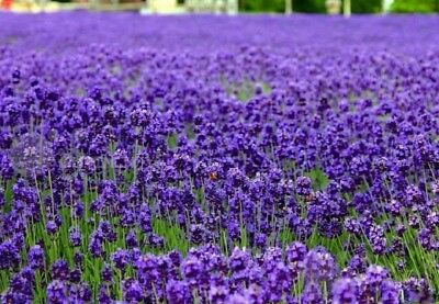 lavender Herb Flower seed 20 seeds Lavandula Hidcote blue garden yard patio