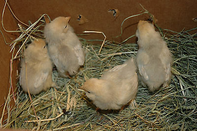 10+ Porcelain Belgian D'Uccle fertile bantam chicken Eggs