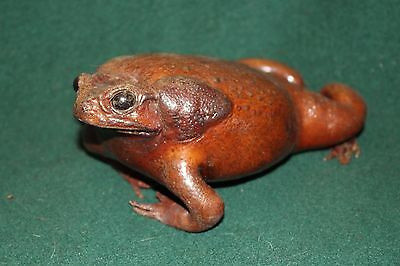 Vintage Toad/Frog Tanned Real Taxidermy Stuffed