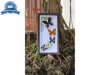 5 Butterfly Garden Plans Display Taxidermy Insect Framed - Beautiful Decor #6