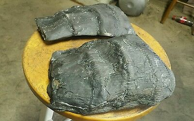"""2 Round Calamite Fossil Root Ends """" Petrified Wood """" Horsetail"""