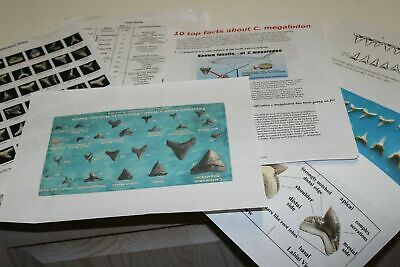 12+ SHARK TOOTH FOSSILS + GUIDES SCHOOL LIT. Megalodon era in bags 1 per bag