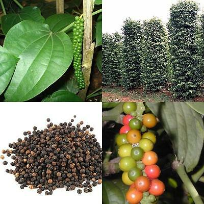 Piper Nigrum - Peppercorn -  Seeds (30) Free Ship