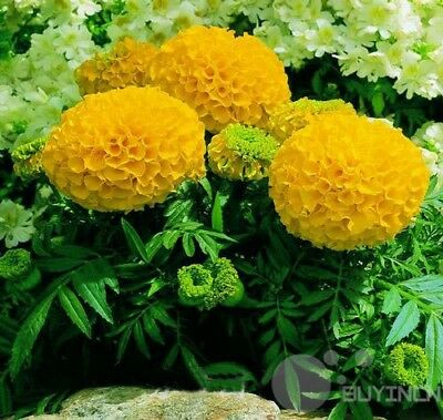 Yellow Aztec Marigold Flower seed 50 Seeds  Tagetes Erecta Patio Garden balcony