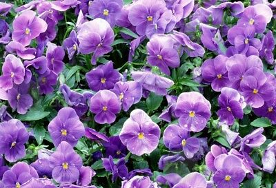 Pure blue pansy Perennial Flower seed 30 seeds violet heartsease Viola tricolo