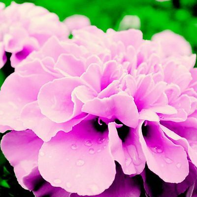 New & Fresh Rose Pink Color French Marigold 200+ Seeds ( Tagetes ) Bonsai Flower