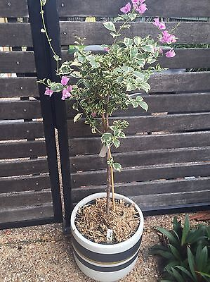 1x Large Bougainvillea Evita Plant |Variegated Foliage Lavender Climber- Flowers