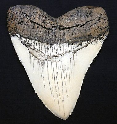 5.5 Inch Megalodon Carcharodon megalodon tooth, Ivory with Serrations