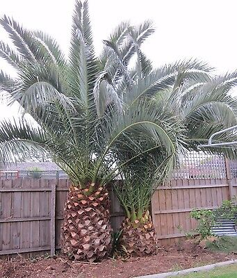 Two !!!! Huge Date Canary Palm Trees