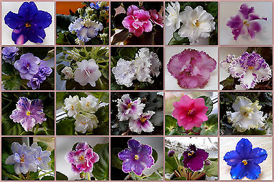 African violet leaves - set of 10 items (seller's choice)