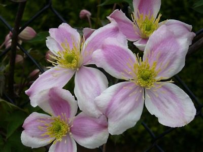Hardy Climbing Plant,      Clematis   Montana  Giant Star