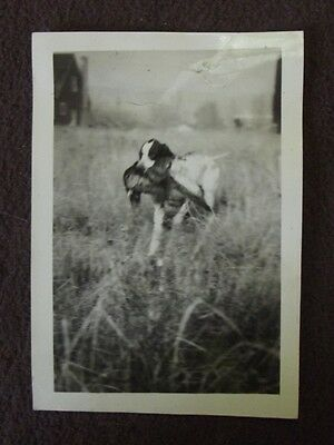 POINTER DOG WITH PHEASANT IN IT'S MOUTH Vintage 1930's PHOTO
