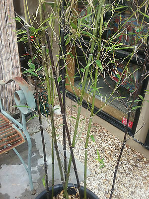 Black bamboo in pot