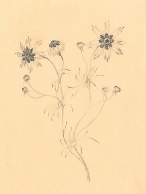 Flower Study - Original 1830 graphite drawing