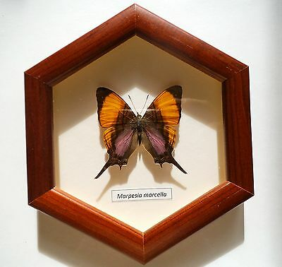Butterfly Marpesia marcella in frame